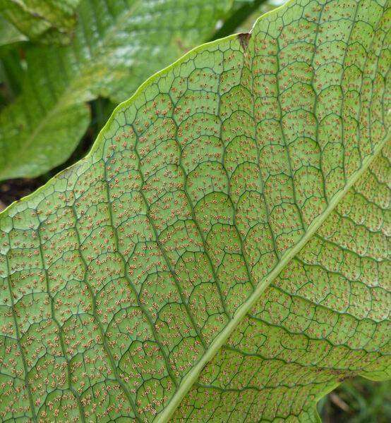 Microsorum musifolium Copel.