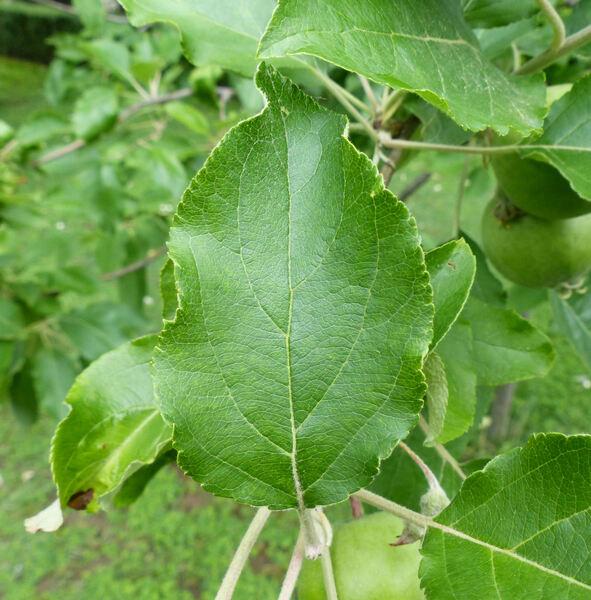 Malus domestica (Borkh.) Borkh. 'Francesca'
