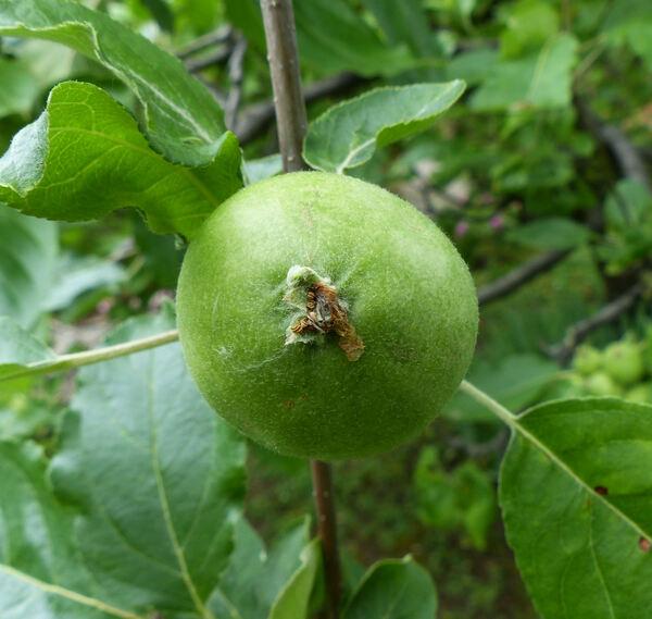 Malus domestica (Borkh.) Borkh. 'Zucchina'