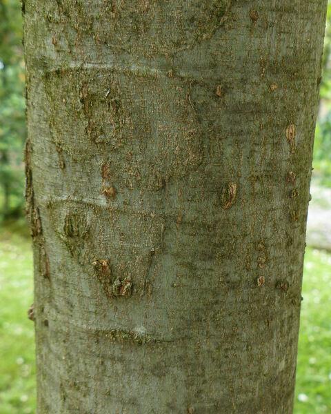 Celtis sinensis Pers.