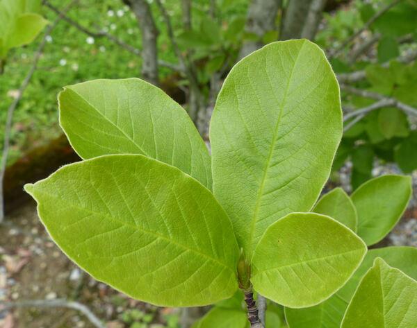 Magnolia denudata Desr.