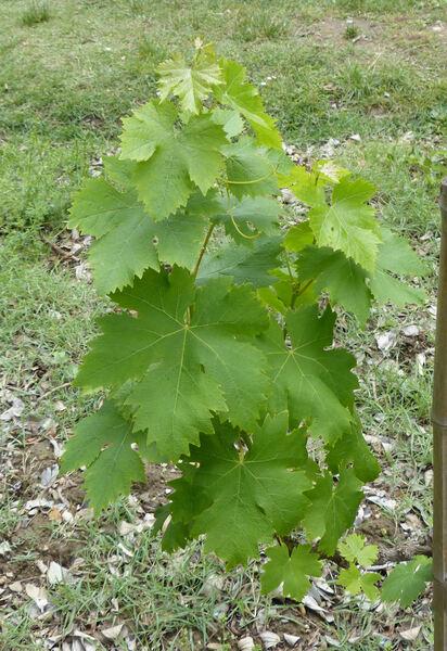 Vitis vinifera L. 'Salamanna'
