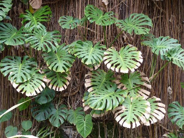 Monstera deliciosa Liebm.
