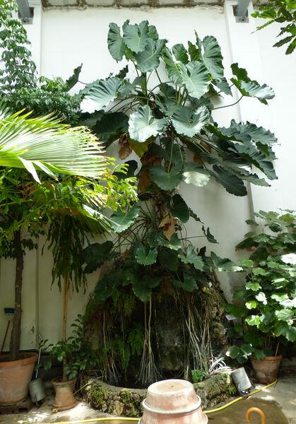 Philodendron speciosum Schott ex Endl.