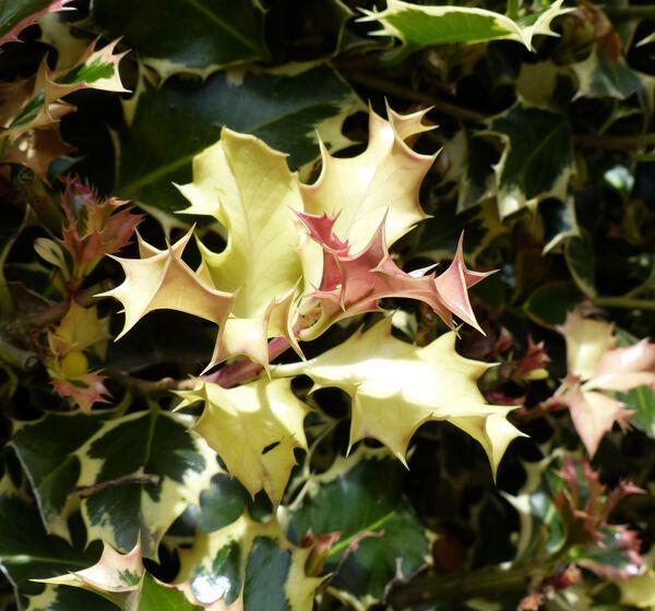 Ilex aquifolium L. 'Albomarginata'