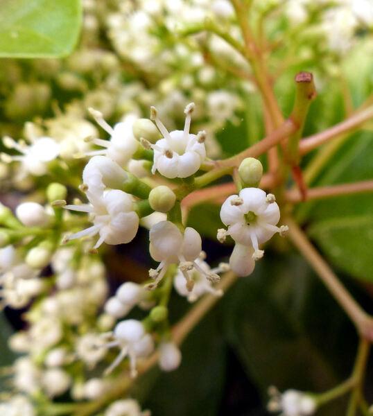 Viburnum odoratissimum Ker-Gawl.