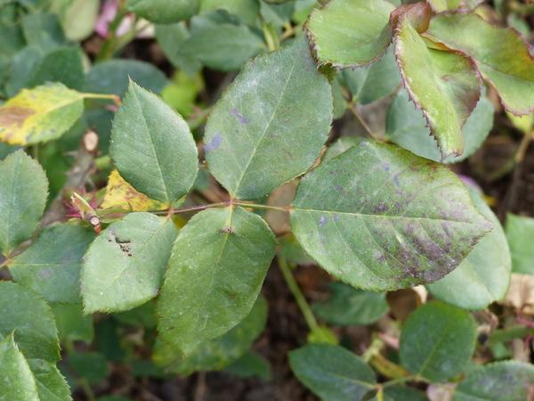 Rosa 'Bolchoï ®'