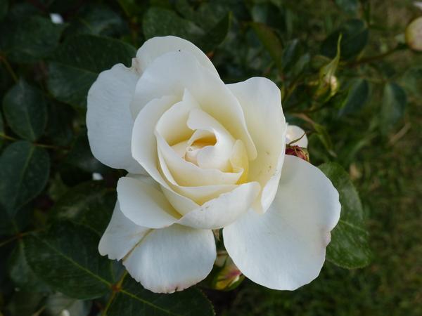 Rosa 'Cervino'