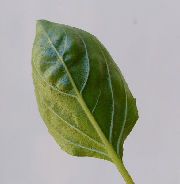 Ocimum basilicum L. var. thyrsiflorum (L.) Benth.