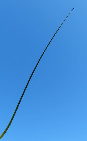 Gelasia villosa (Scop.) Cass.