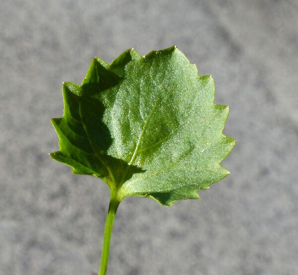 Campanula portenschlagiana Schult.