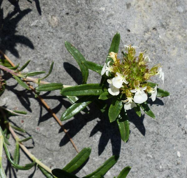 Teucrium montanum L.