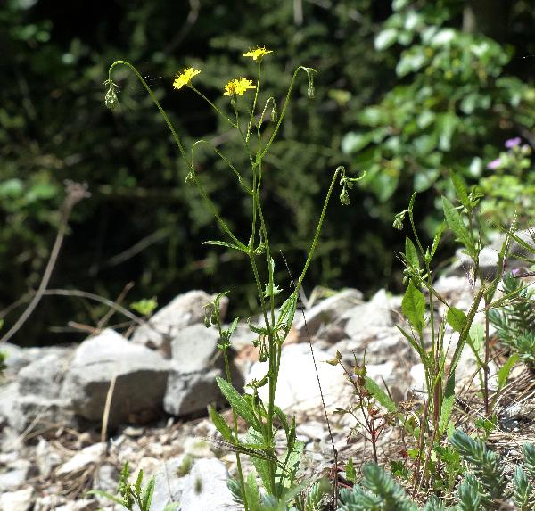 Crepis neglecta L. subsp. neglecta