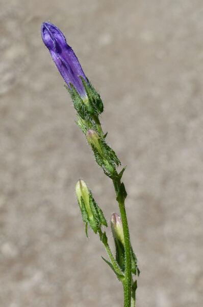 Campanula sibirica L. subsp. sibirica