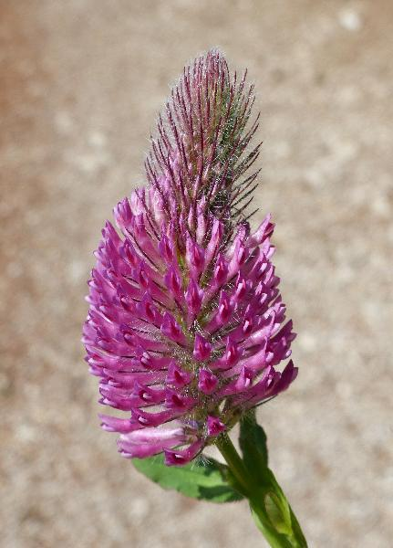 Trifolium rubens L.