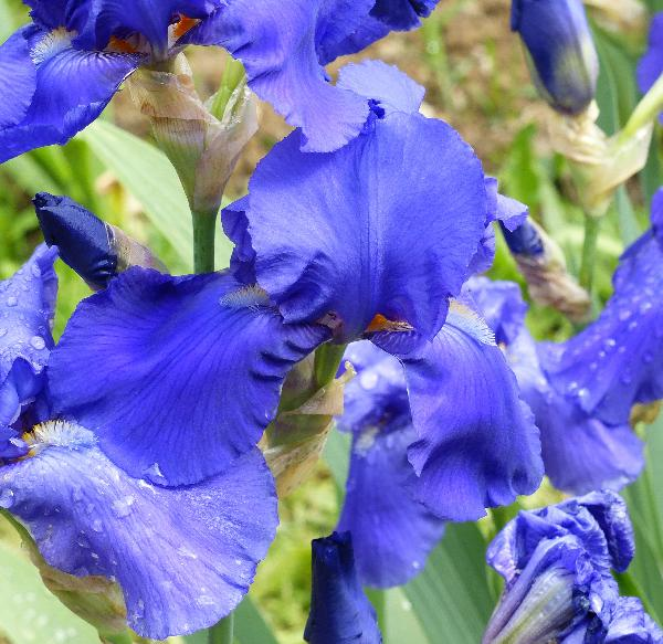Iris 'Midnight Waltz'