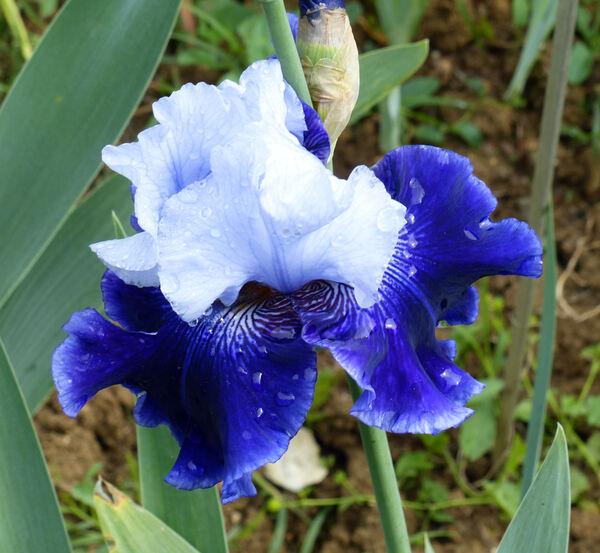 Iris 'World Premier'
