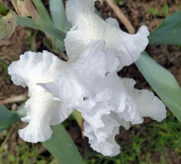 Iris 'Frosted Fantasy'