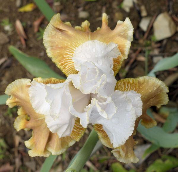 Iris 'Fallen Love'