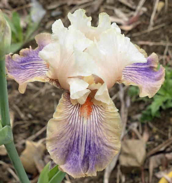 Iris 'Carnival of Color'