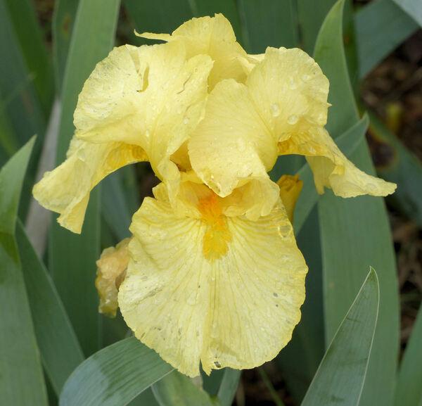 Iris 'Butter Please'