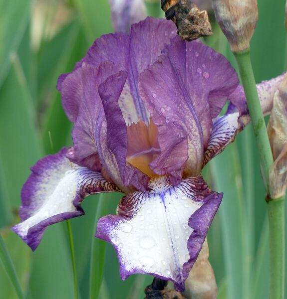Iris 'Competitive Edge'
