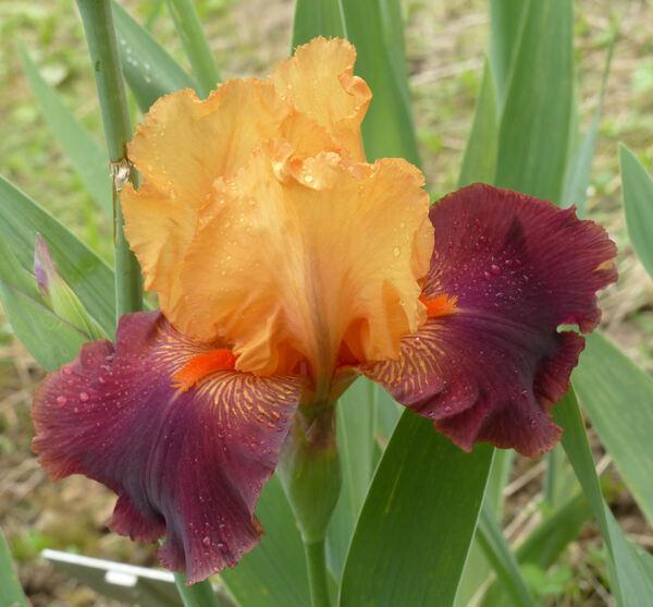 Iris 'Torero'