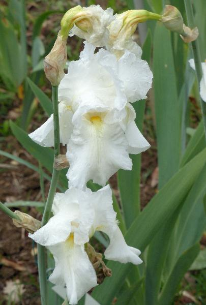 Iris 'Biancaneve'