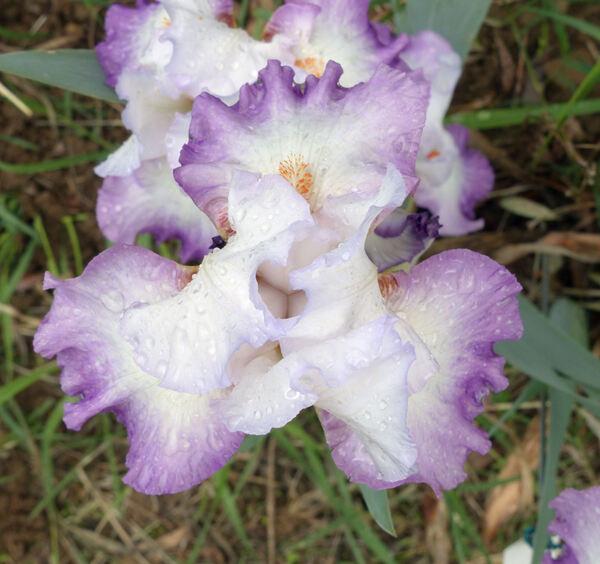 Iris 'Ravissant'