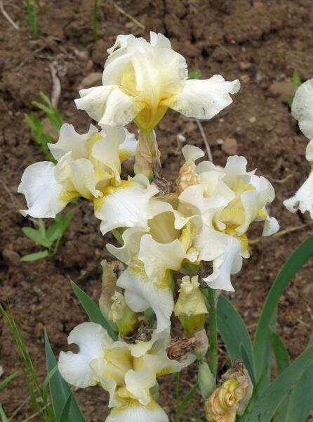 Iris 'Aylesford'