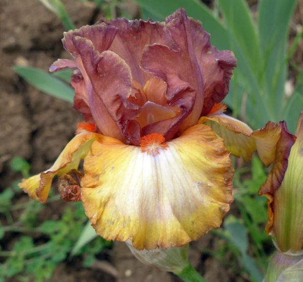 Iris 'Banded Gold'