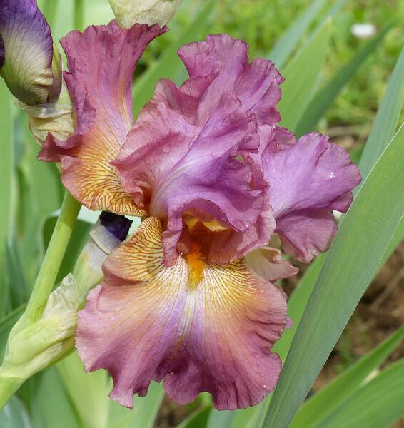 Iris 'Anthares'