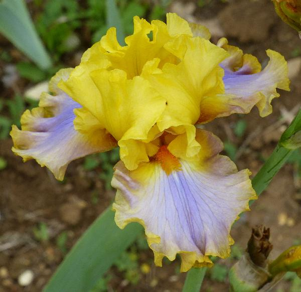 Iris 'Catwalk Queen'