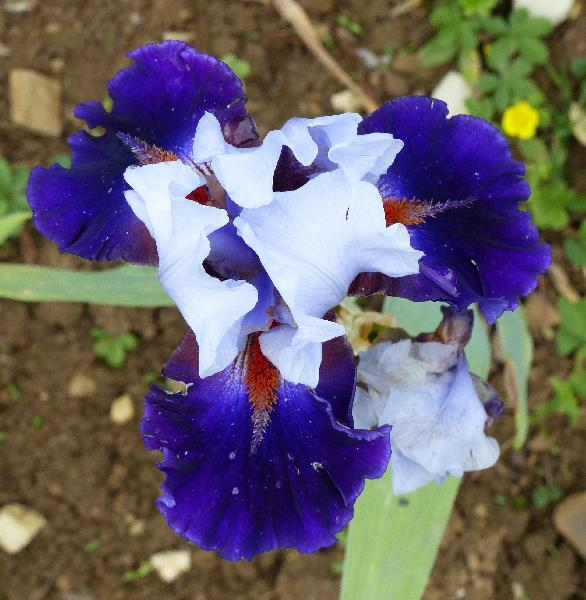 Iris 'Wagging Tongues'