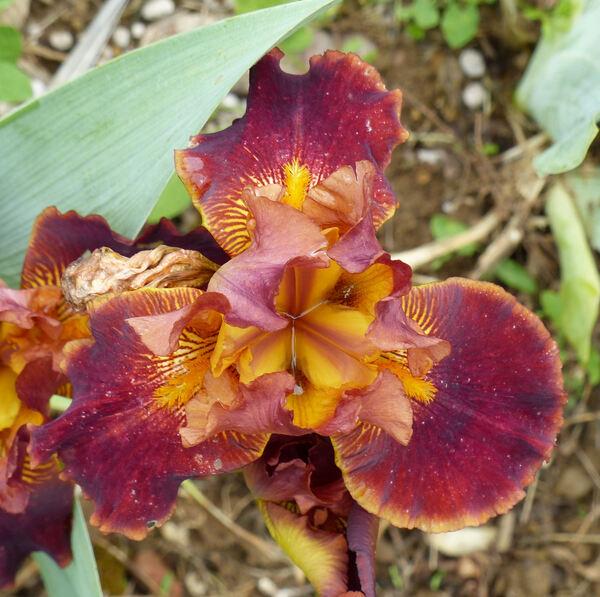 Iris 'Renaissance'