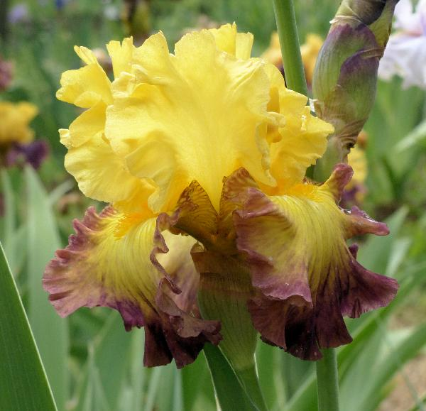 Iris 'Summer Shadow'