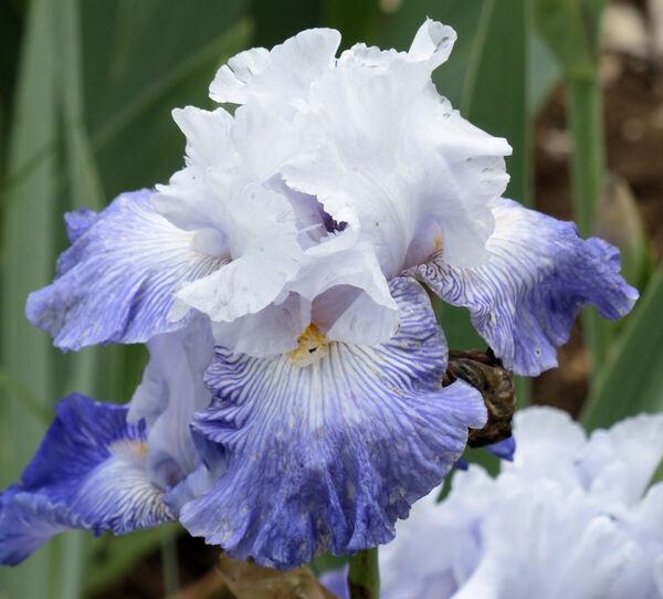 Iris '7308-4'