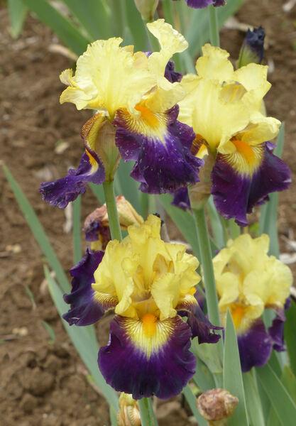 Iris '1140/0'