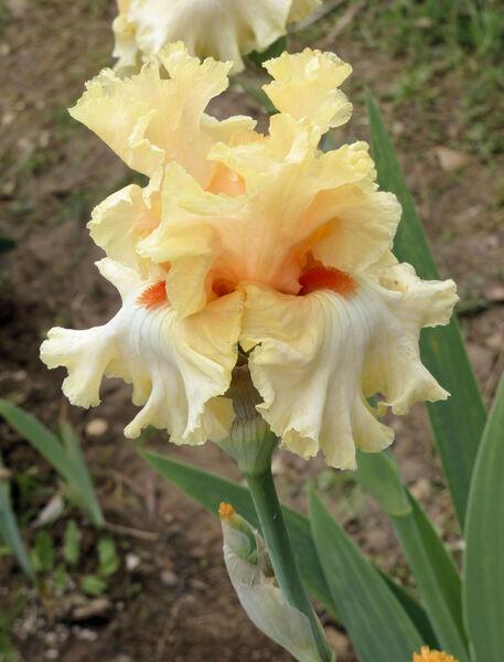 Iris 'Mimosa'