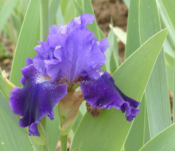 Iris '02-08-TD'