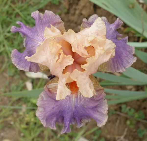 Iris 'Sara'