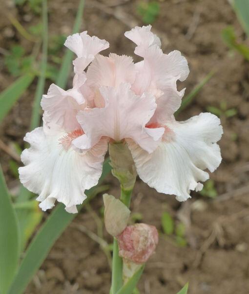 Iris 'Radiant Pink'