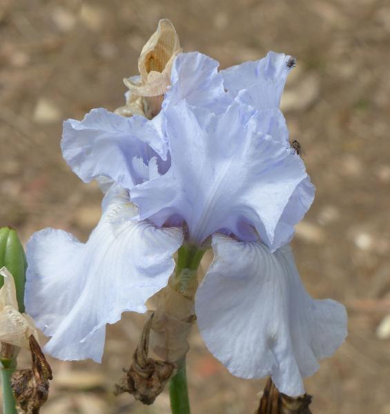 Iris 'Crystal Falls'