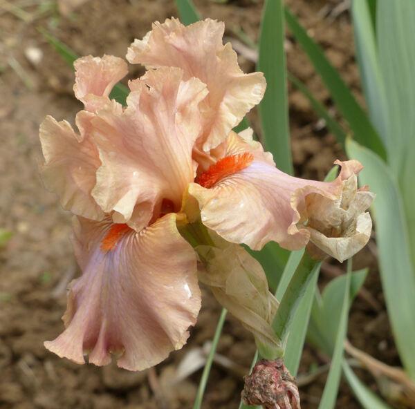 Iris 'Homebody'