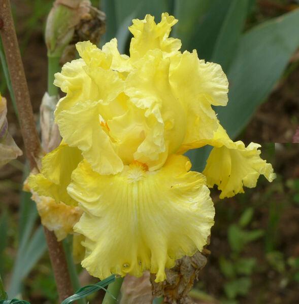 Iris 'Sun Shine In'