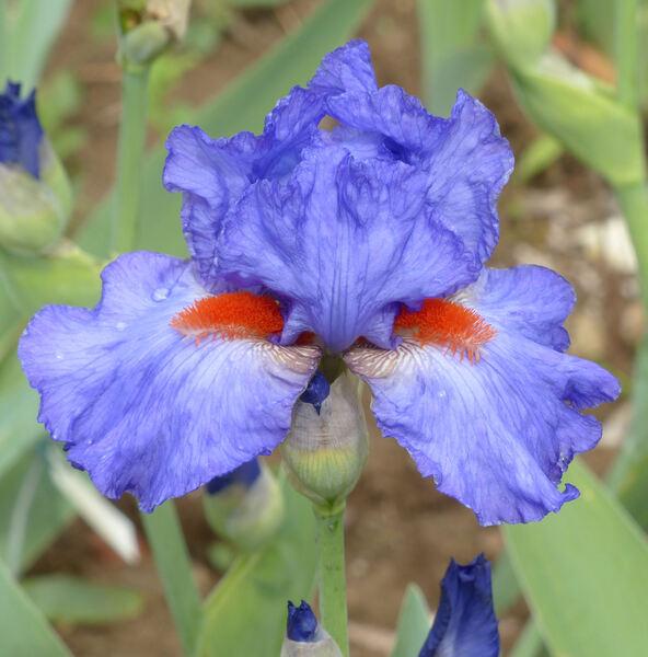 Iris 'Glad'