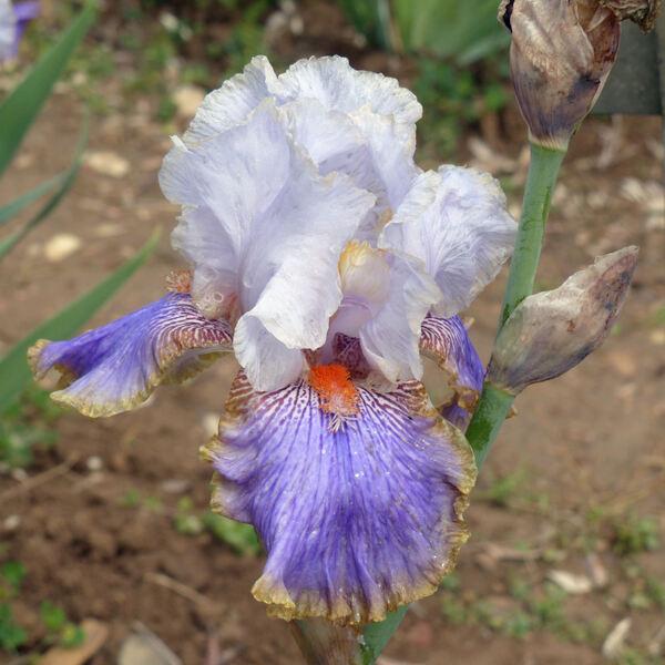 Iris 'Effective'