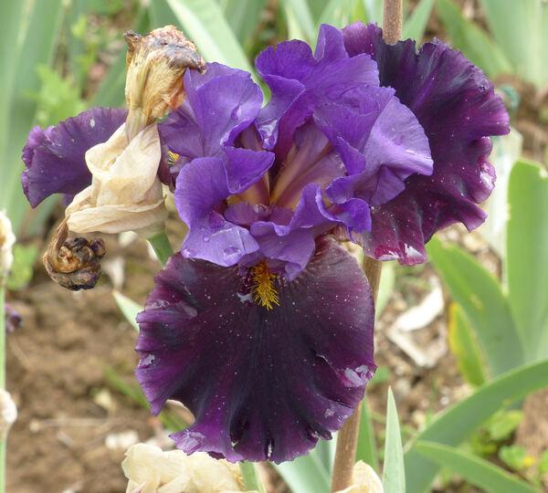 Iris 'XI 05'