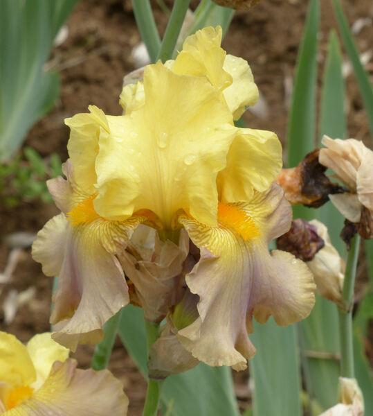 Iris '15808-1'