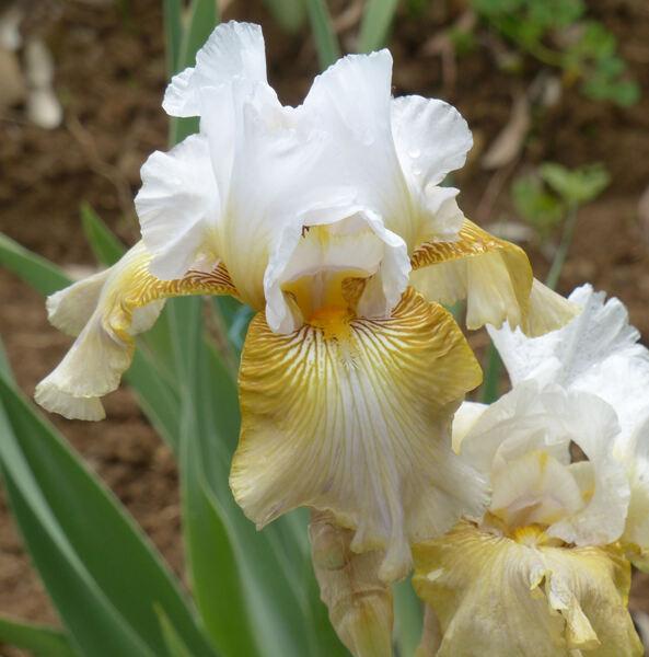 Iris 'Oro degli Stolti'